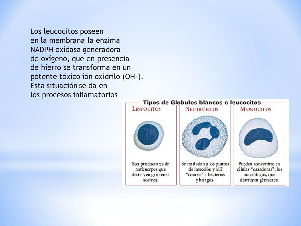 Los leucocitos poseen en la membrana la enzima. NADPH oxidasa generadora. de oxígeno, que en presencia.