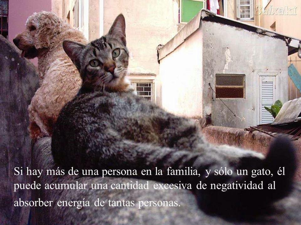 Si hay más de una persona en la familia, y sólo un gato, él puede acumular una cantidad excesiva de negatividad al absorber energía de tantas personas.