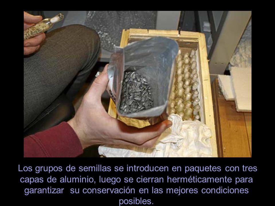 Los grupos de semillas se introducen en paquetes con tres capas de aluminio, luego se cierran herméticamente para garantizar su conservación en las mejores condiciones posibles.