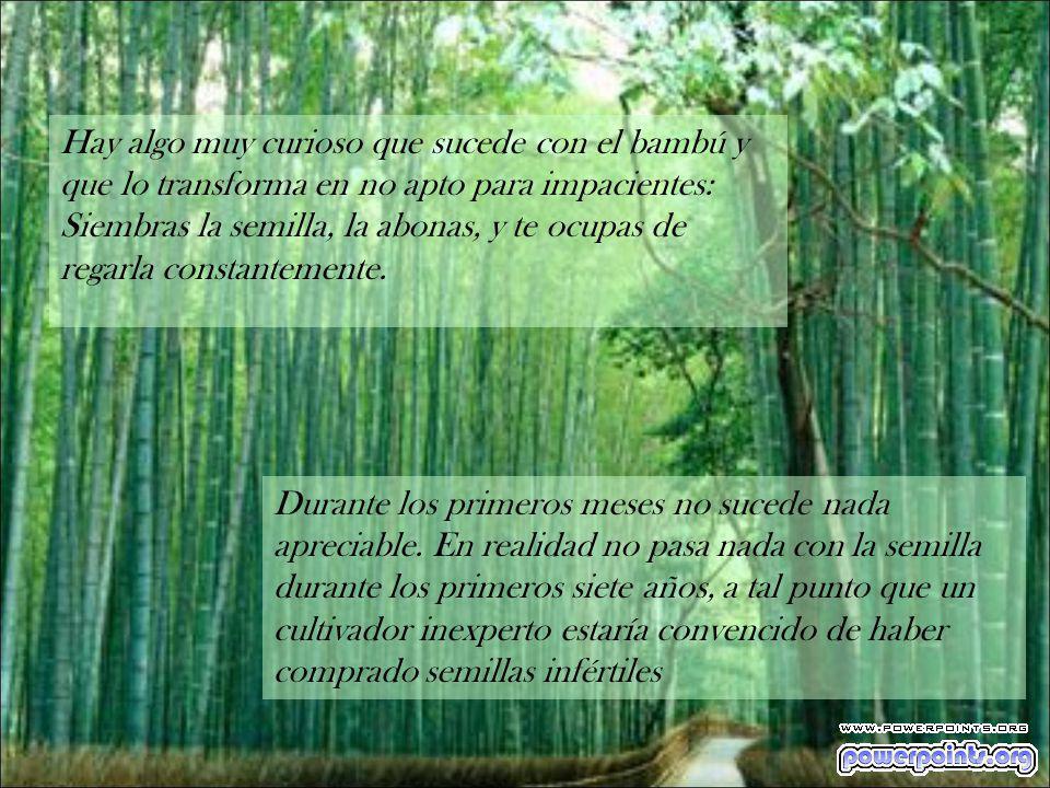 Hay algo muy curioso que sucede con el bambú y que lo transforma en no apto para impacientes: Siembras la semilla, la abonas, y te ocupas de regarla constantemente.
