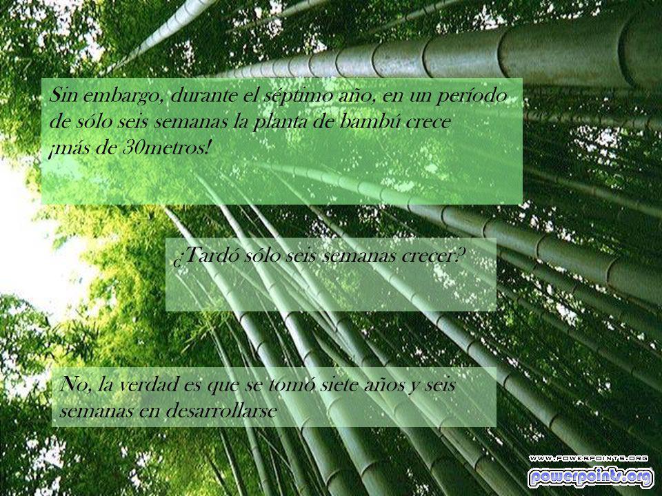 Sin embargo, durante el séptimo año, en un período de sólo seis semanas la planta de bambú crece ¡más de 30metros!