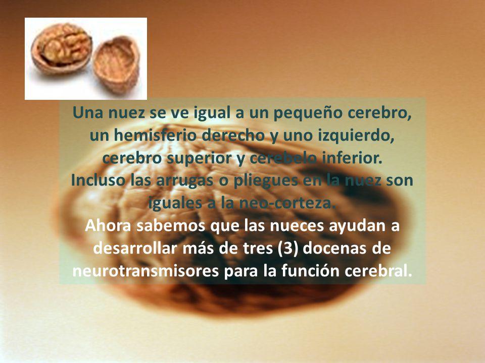 Una nuez se ve igual a un pequeño cerebro, un hemisferio derecho y uno izquierdo, cerebro superior y cerebelo inferior.