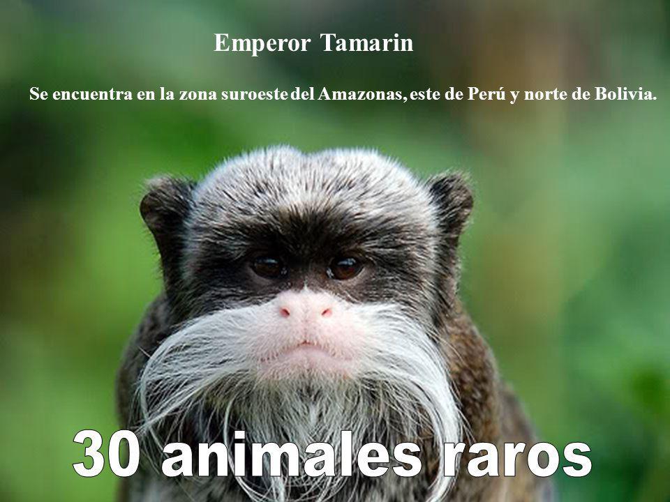 30 animales raros Emperor Tamarin