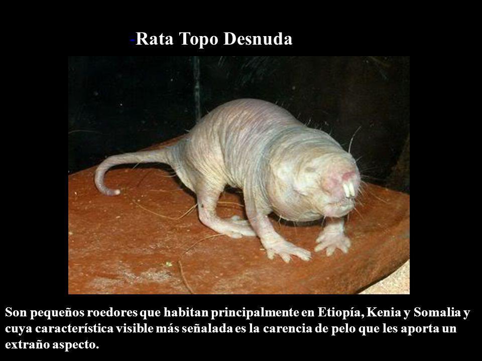 -Rata Topo Desnuda
