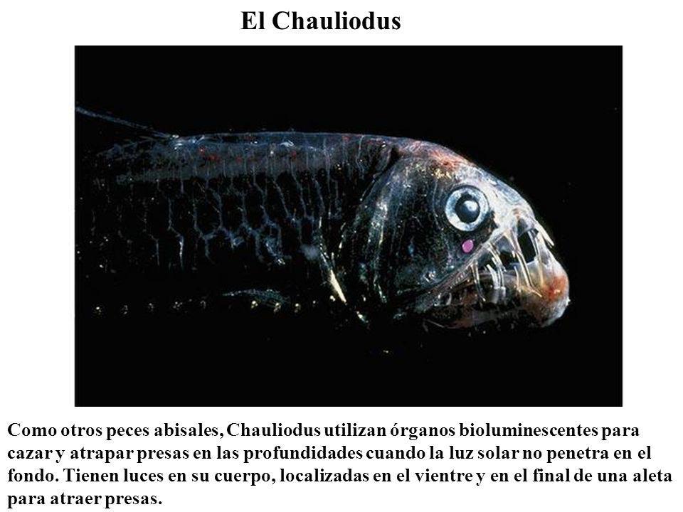 El Chauliodus