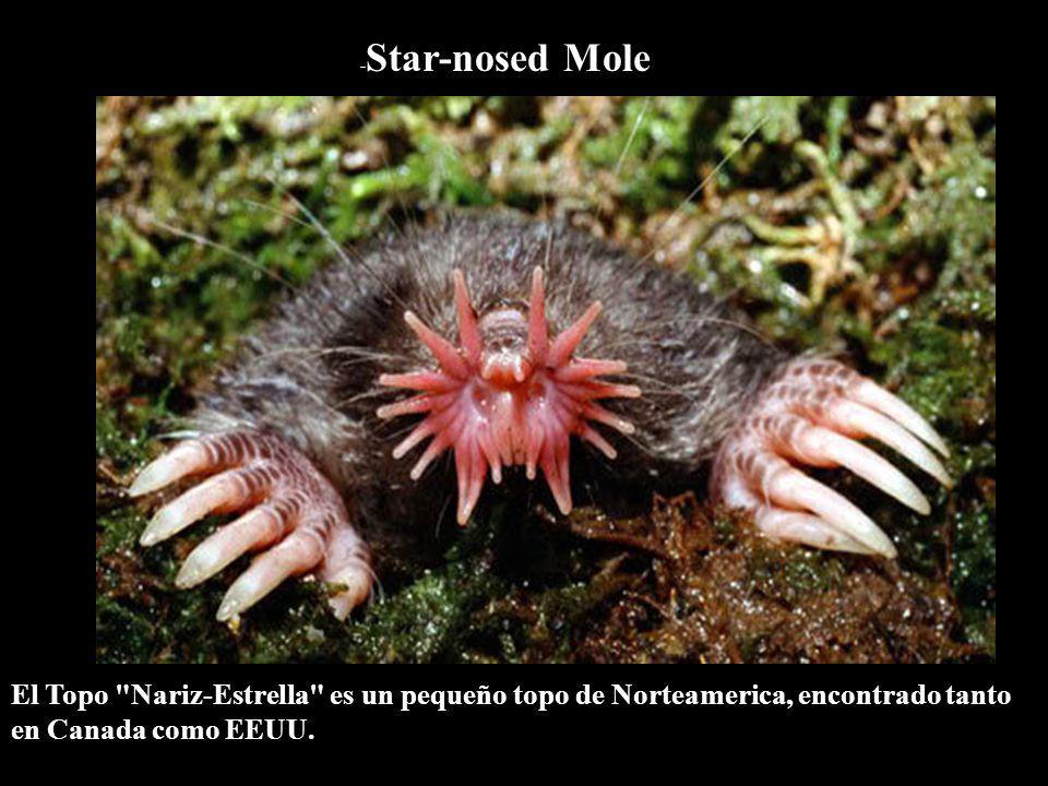 -Star-nosed Mole El Topo Nariz-Estrella es un pequeño topo de Norteamerica, encontrado tanto en Canada como EEUU.