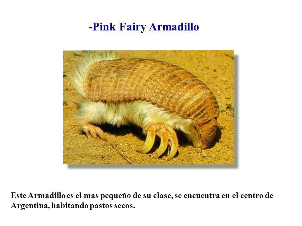 -Pink Fairy Armadillo Este Armadillo es el mas pequeño de su clase, se encuentra en el centro de Argentina, habitando pastos secos.