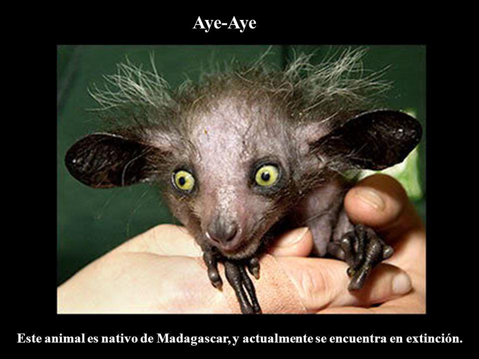 Aye-Aye Este animal es nativo de Madagascar, y actualmente se encuentra en extinción.