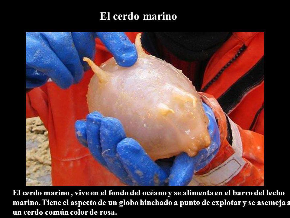 El cerdo marino