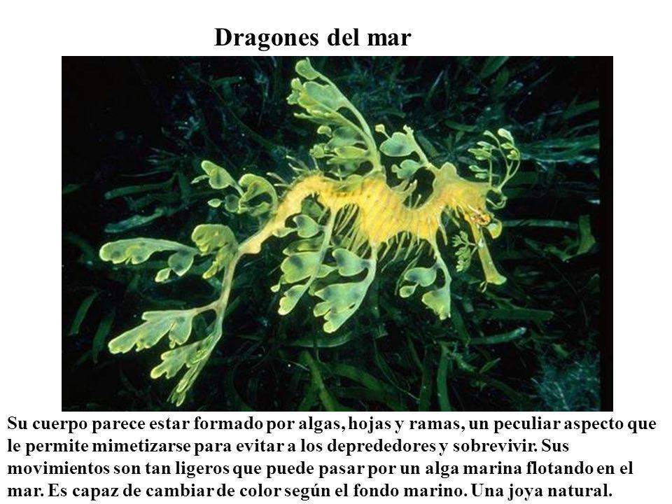 Dragones del mar