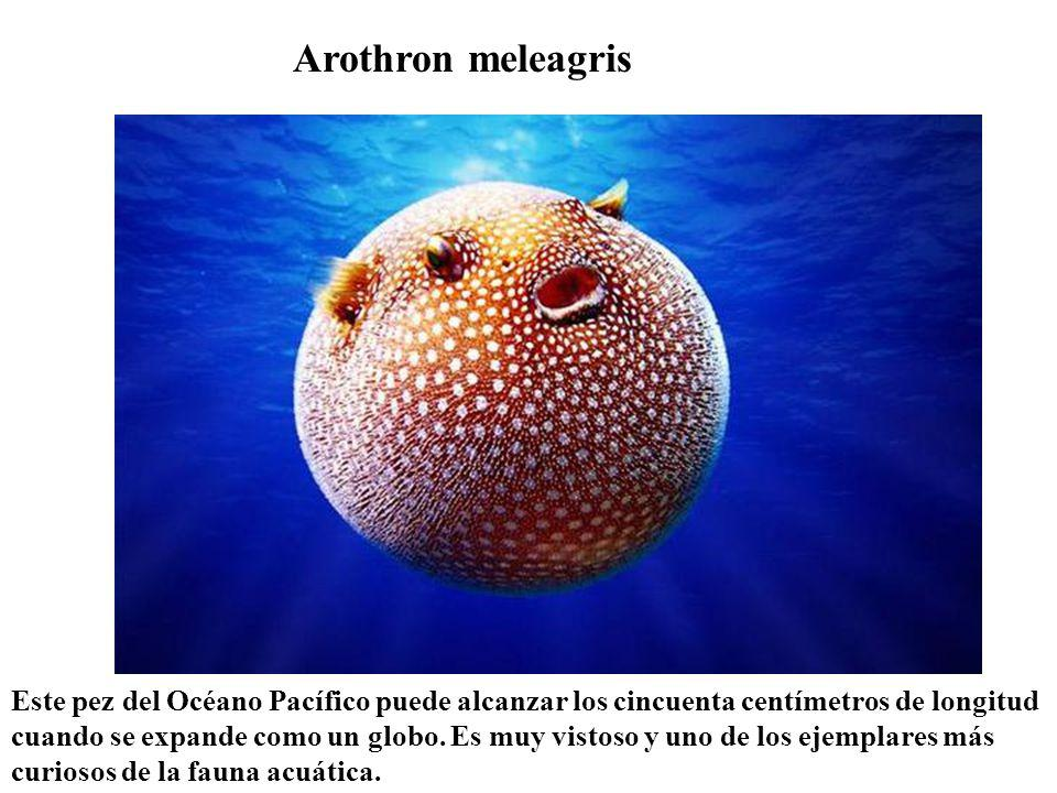 Arothron meleagris
