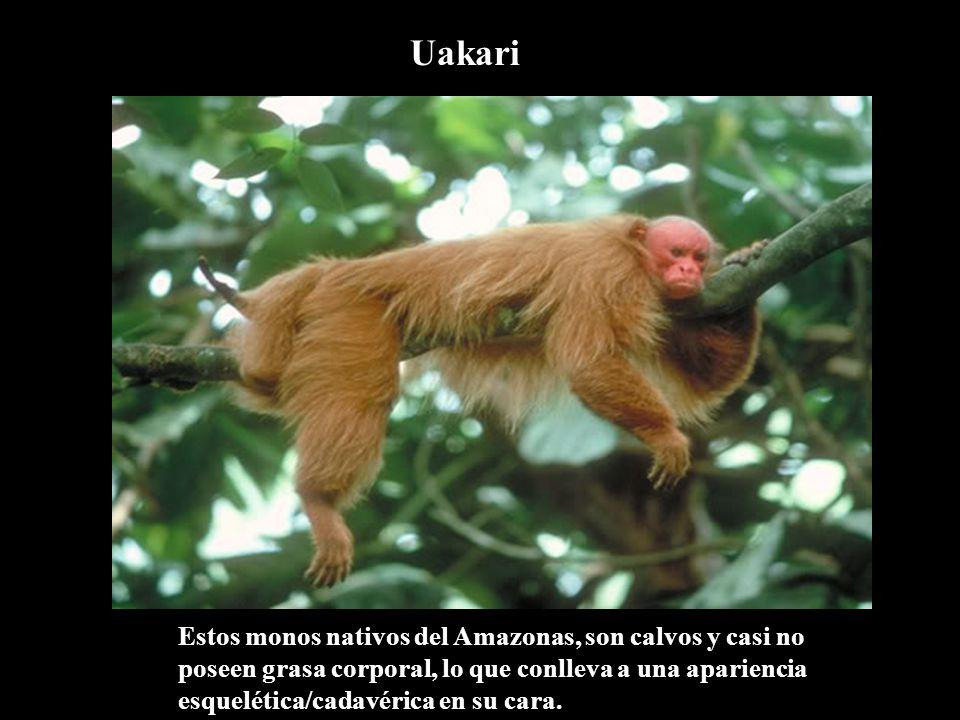 Uakari