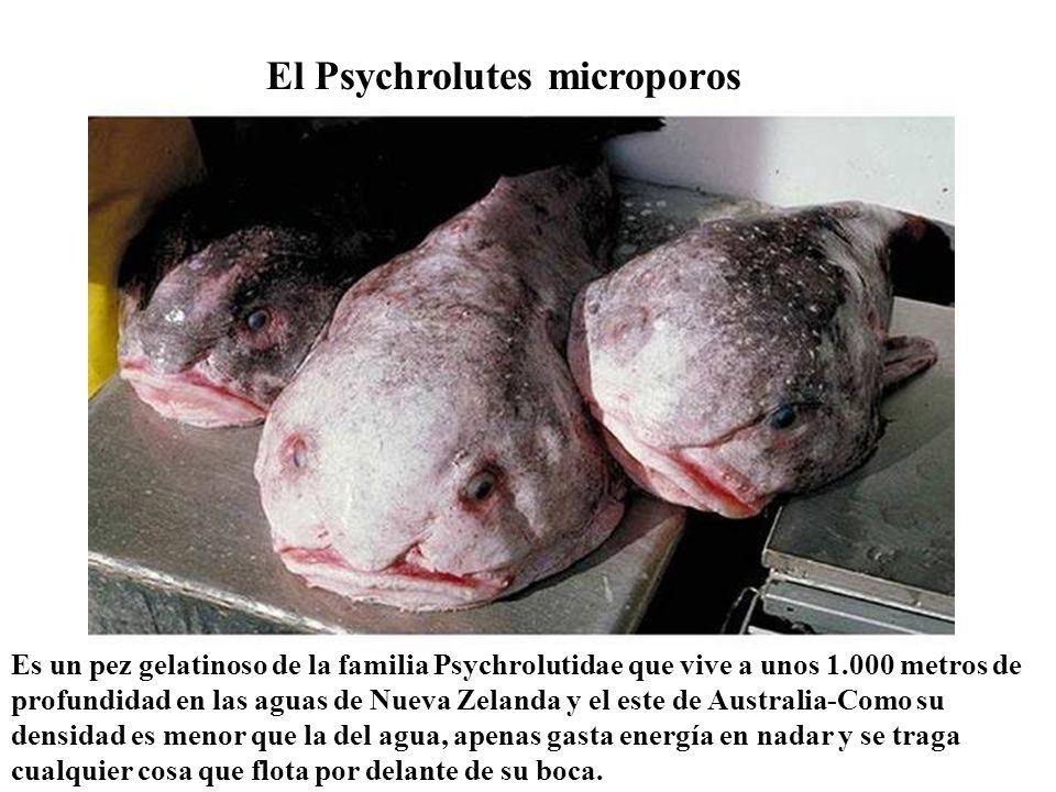 El Psychrolutes microporos