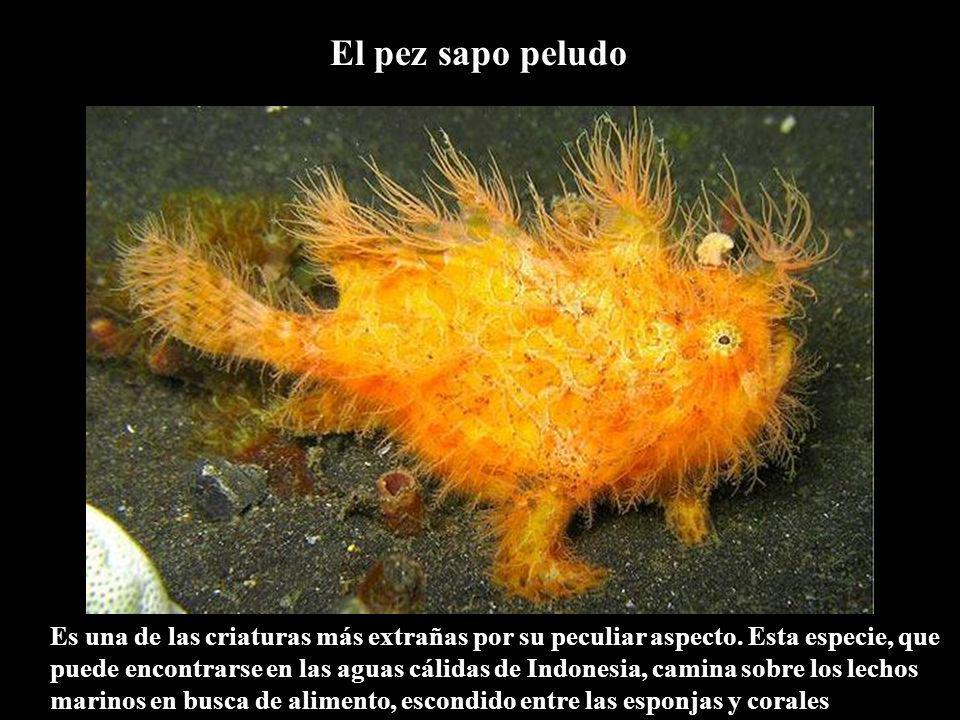 El pez sapo peludo