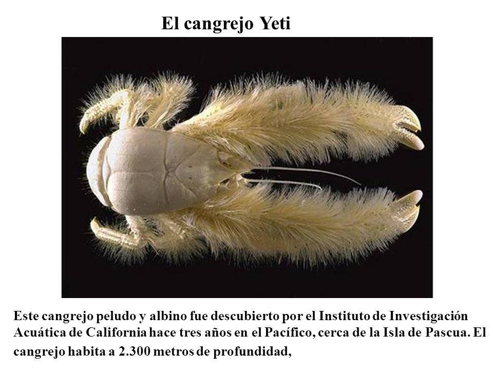 El cangrejo Yeti