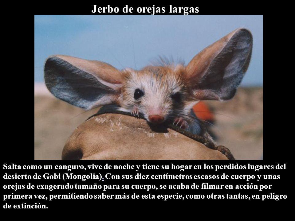 Jerbo de orejas largas