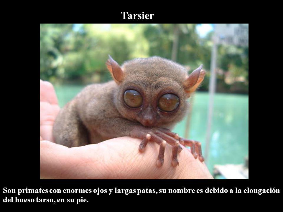 Tarsier Son primates con enormes ojos y largas patas, su nombre es debido a la elongación del hueso tarso, en su pie.