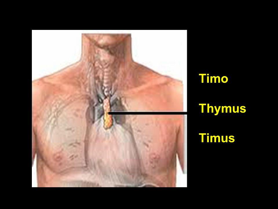 Timo Thymus Timus