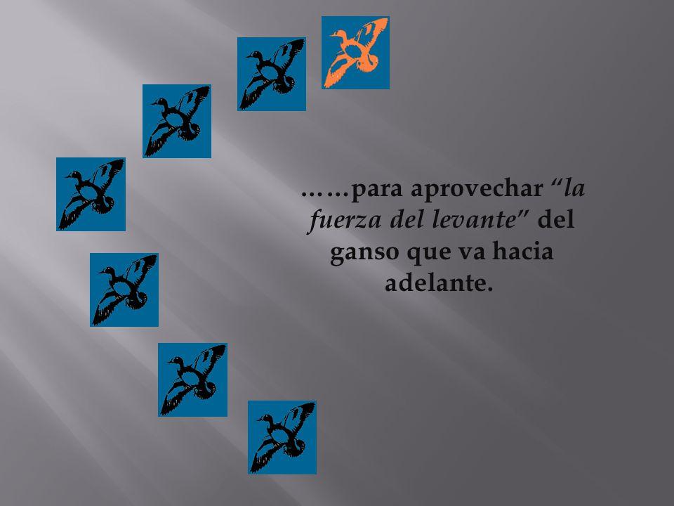 ……para aprovechar la fuerza del levante del ganso que va hacia adelante.
