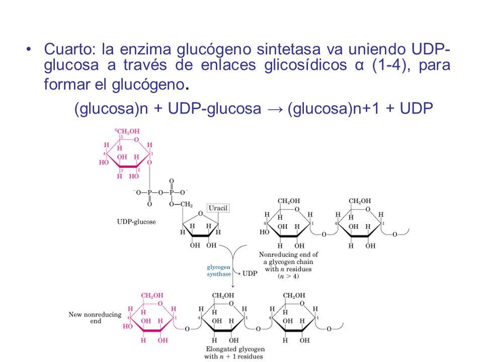 Cuarto: la enzima glucógeno sintetasa va uniendo UDP-glucosa a través de enlaces glicosídicos α (1-4), para formar el glucógeno.