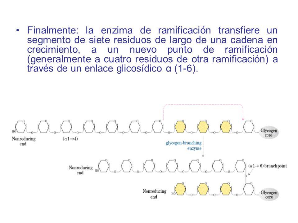 Finalmente: la enzima de ramificación transfiere un segmento de siete residuos de largo de una cadena en crecimiento, a un nuevo punto de ramificación (generalmente a cuatro residuos de otra ramificación) a través de un enlace glicosídico α (1-6).