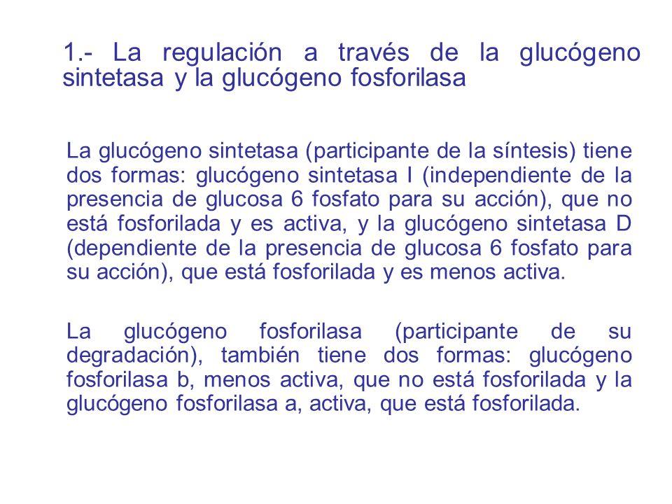 1.- La regulación a través de la glucógeno sintetasa y la glucógeno fosforilasa