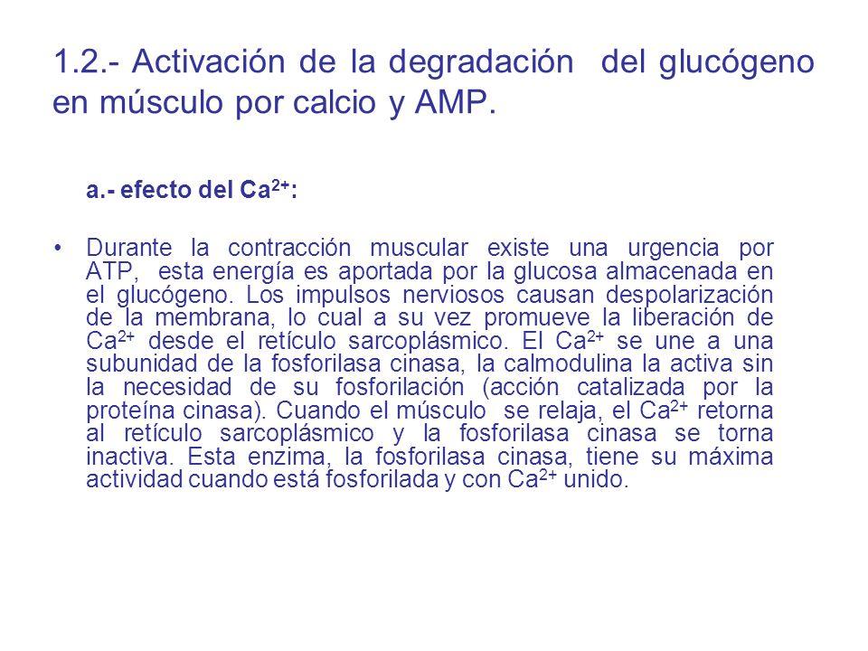 1.2.- Activación de la degradación del glucógeno en músculo por calcio y AMP.