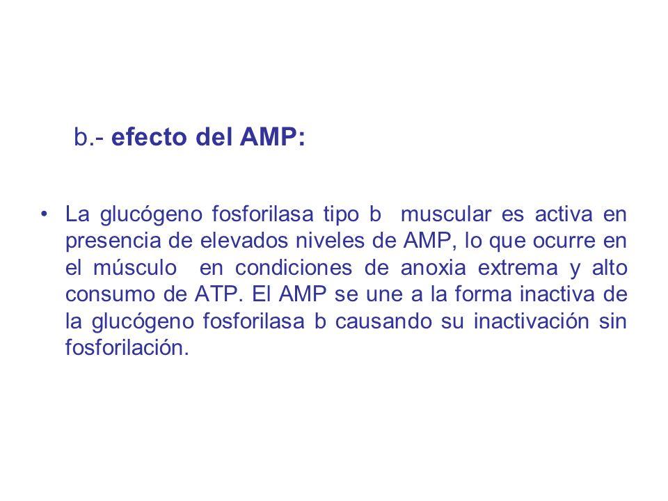 b.- efecto del AMP: