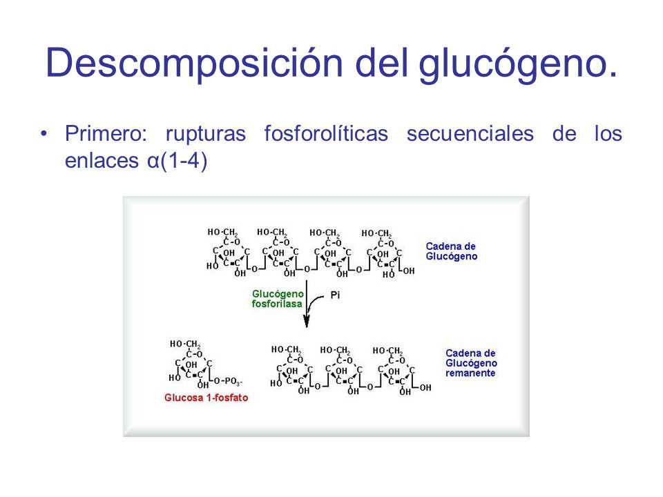 Descomposición del glucógeno.