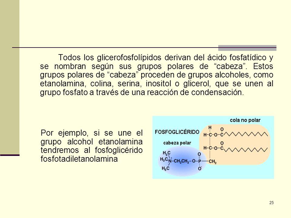 Todos los glicerofosfolípidos derivan del ácido fosfatídico y se nombran según sus grupos polares de cabeza . Estos grupos polares de cabeza proceden de grupos alcoholes, como etanolamina, colina, serina, inositol o glicerol, que se unen al grupo fosfato a través de una reacción de condensación.