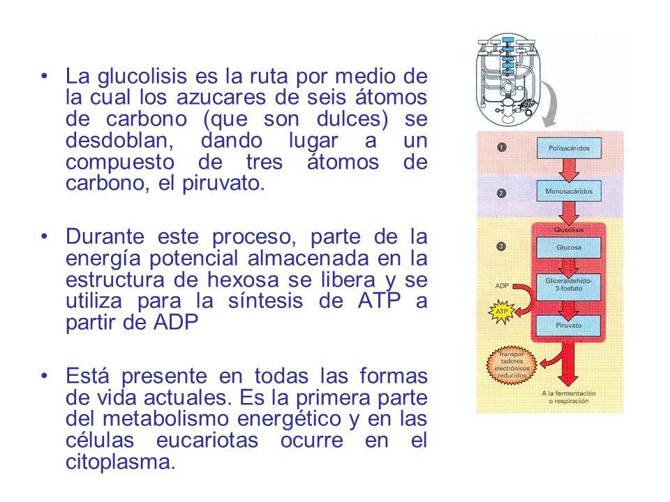 La glucolisis es la ruta por medio de la cual los azucares de seis átomos de carbono (que son dulces) se desdoblan, dando lugar a un compuesto de tres átomos de carbono, el piruvato.