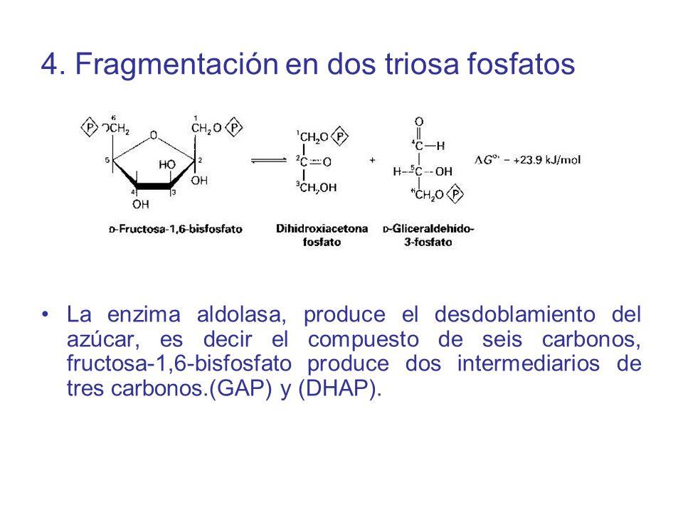 4. Fragmentación en dos triosa fosfatos
