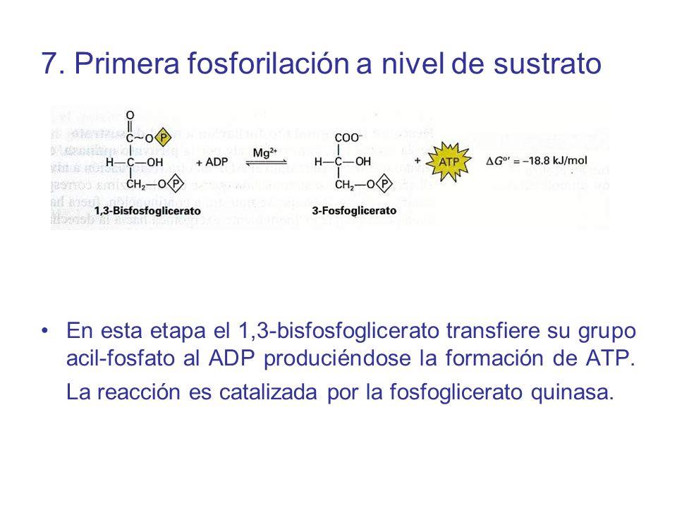 7. Primera fosforilación a nivel de sustrato
