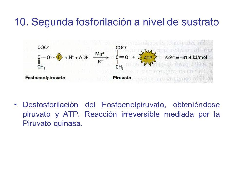 10. Segunda fosforilación a nivel de sustrato