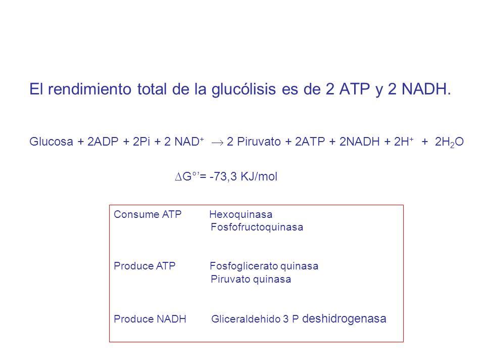El rendimiento total de la glucólisis es de 2 ATP y 2 NADH.