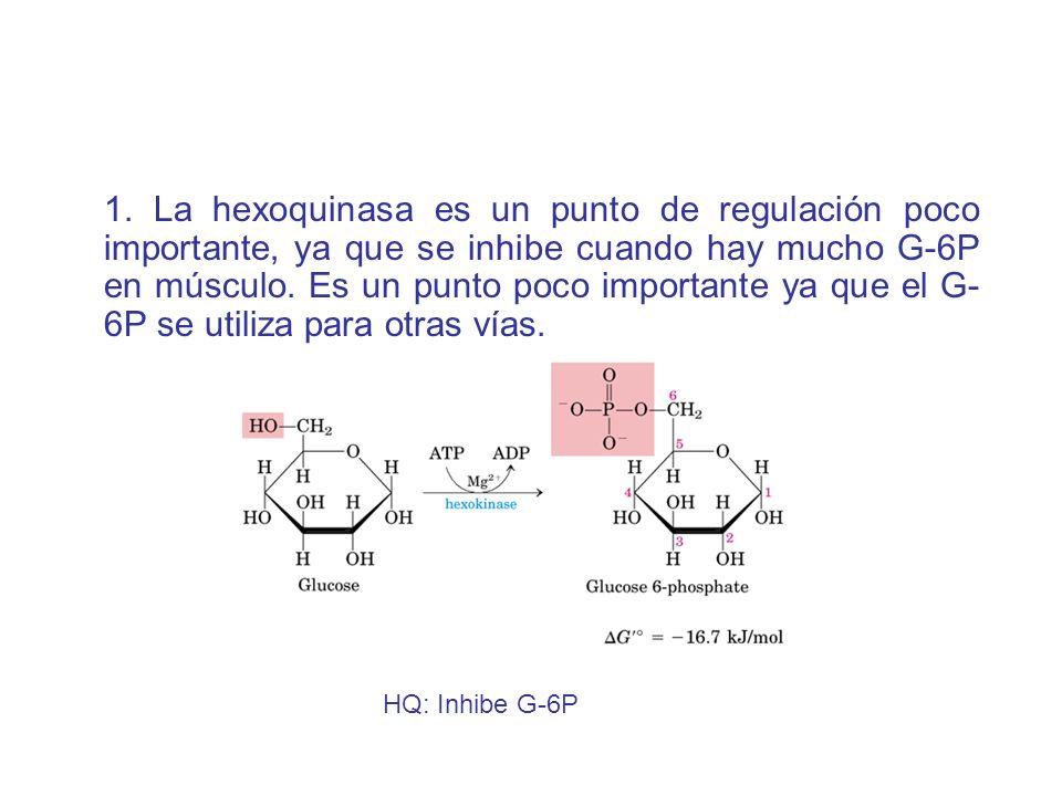 1. La hexoquinasa es un punto de regulación poco importante, ya que se inhibe cuando hay mucho G-6P en músculo. Es un punto poco importante ya que el G-6P se utiliza para otras vías.