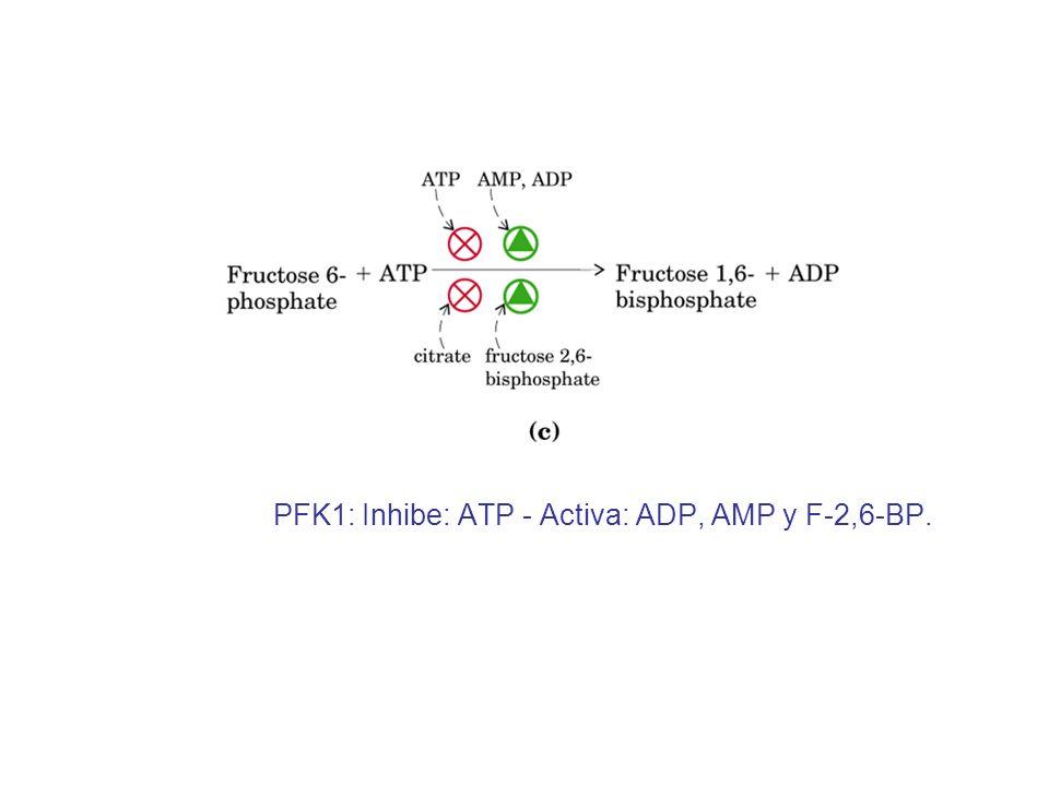 PFK1: Inhibe: ATP - Activa: ADP, AMP y F-2,6-BP.