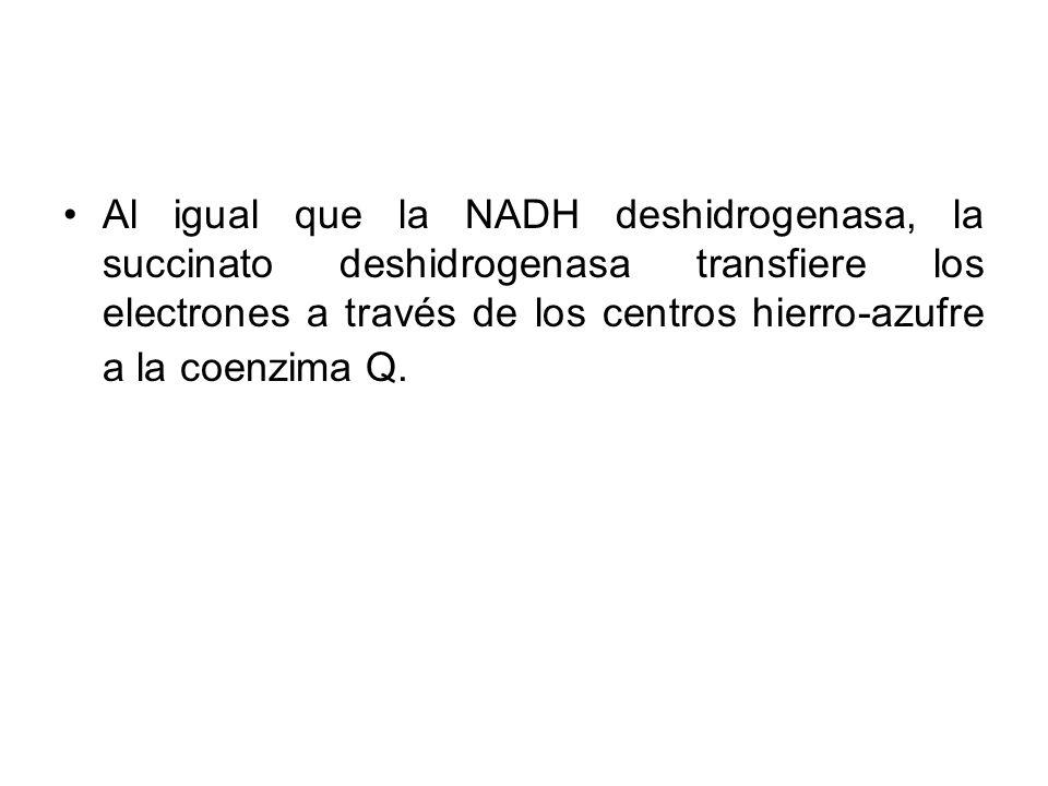 Al igual que la NADH deshidrogenasa, la succinato deshidrogenasa transfiere los electrones a través de los centros hierro-azufre a la coenzima Q.