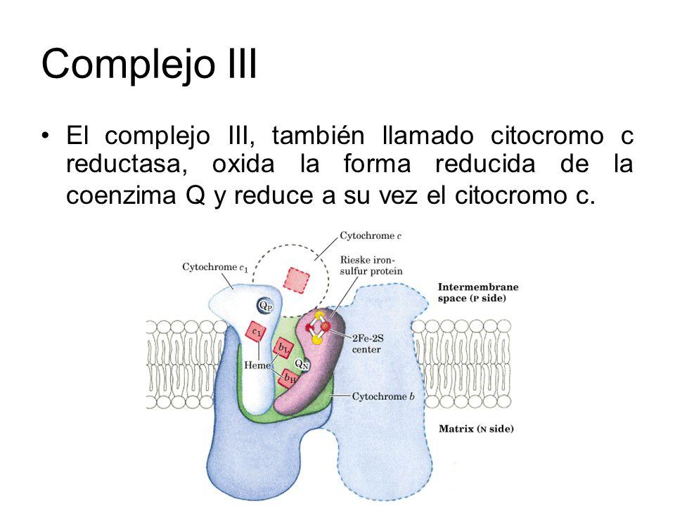 Complejo III El complejo III, también llamado citocromo c reductasa, oxida la forma reducida de la coenzima Q y reduce a su vez el citocromo c.