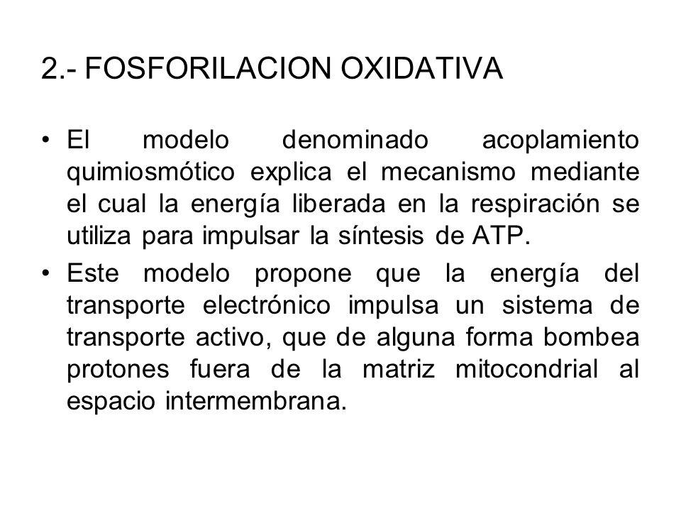 2.- FOSFORILACION OXIDATIVA