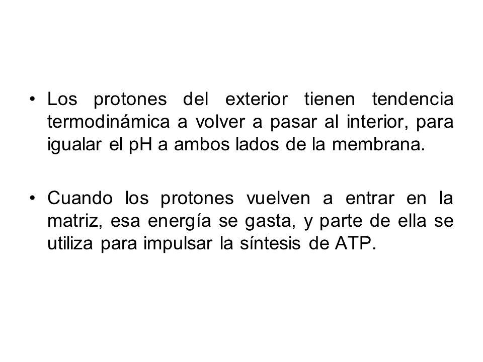 Los protones del exterior tienen tendencia termodinámica a volver a pasar al interior, para igualar el pH a ambos lados de la membrana.
