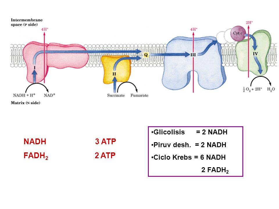 NADH 3 ATP FADH2 2 ATP Glicolisis = 2 NADH Piruv desh. = 2 NADH
