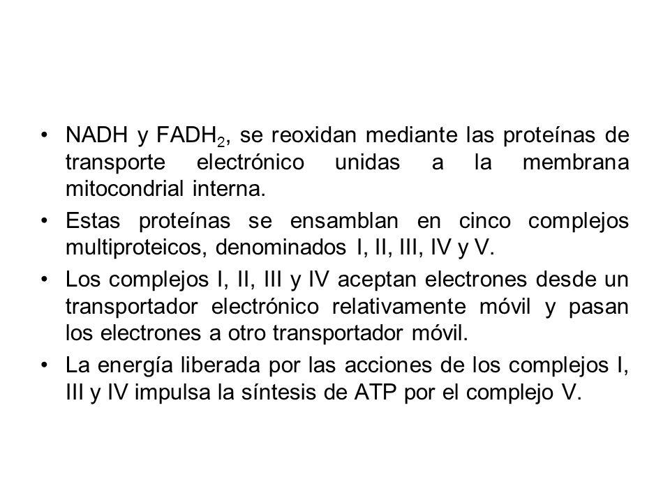 NADH y FADH2, se reoxidan mediante las proteínas de transporte electrónico unidas a la membrana mitocondrial interna.