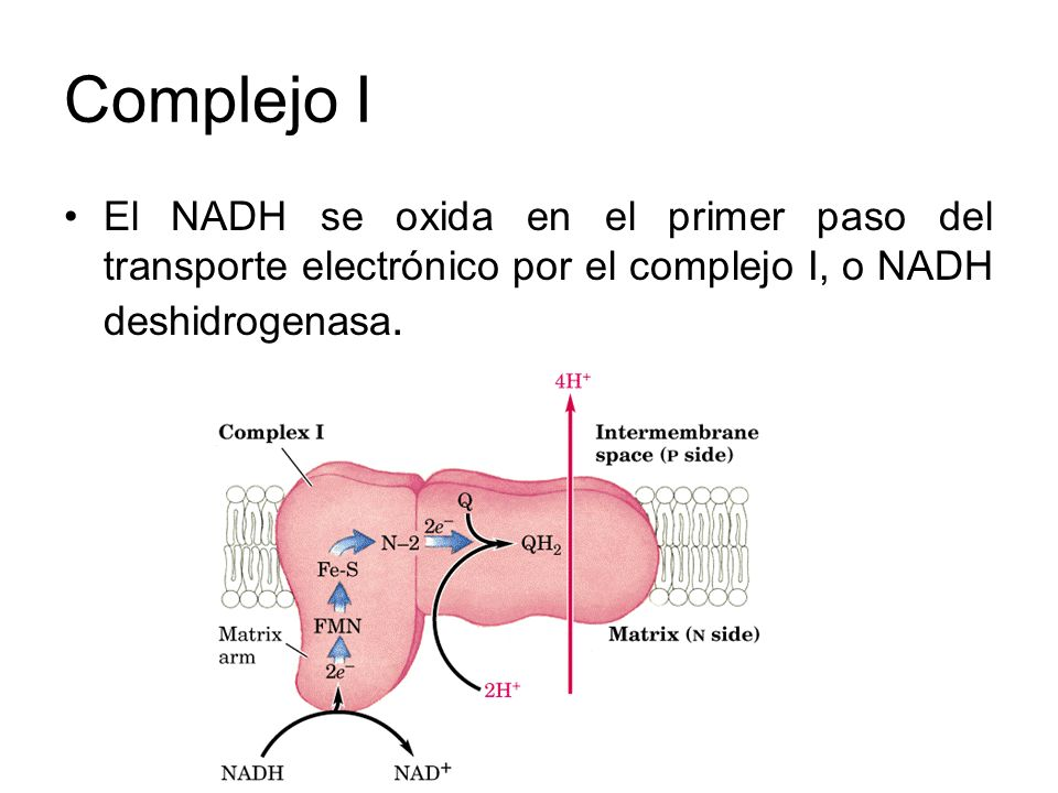 Complejo I El NADH se oxida en el primer paso del transporte electrónico por el complejo I, o NADH deshidrogenasa.