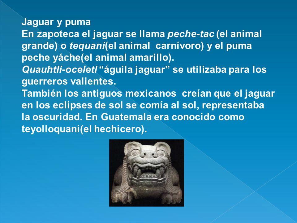 Jaguar y puma En zapoteca el jaguar se llama peche-tac (el animal grande) o tequani(el animal carnívoro) y el puma peche yáche(el animal amarillo).