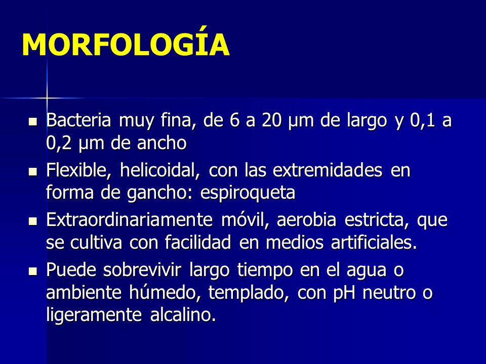 MORFOLOGÍA Bacteria muy fina, de 6 a 20 µm de largo y 0,1 a 0,2 µm de ancho.
