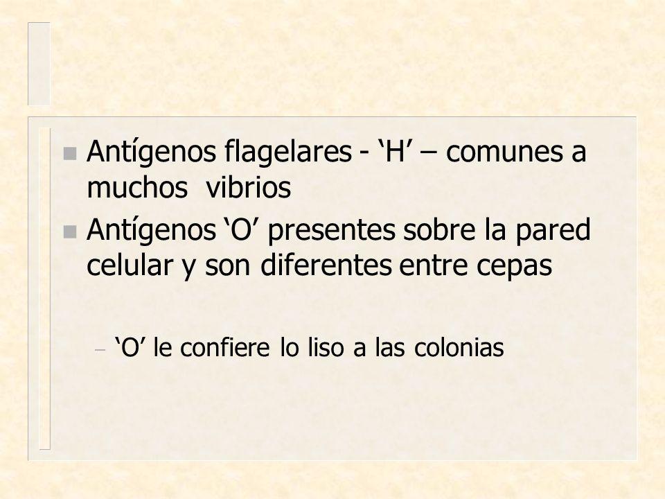 Antígenos flagelares - 'H' – comunes a muchos vibrios