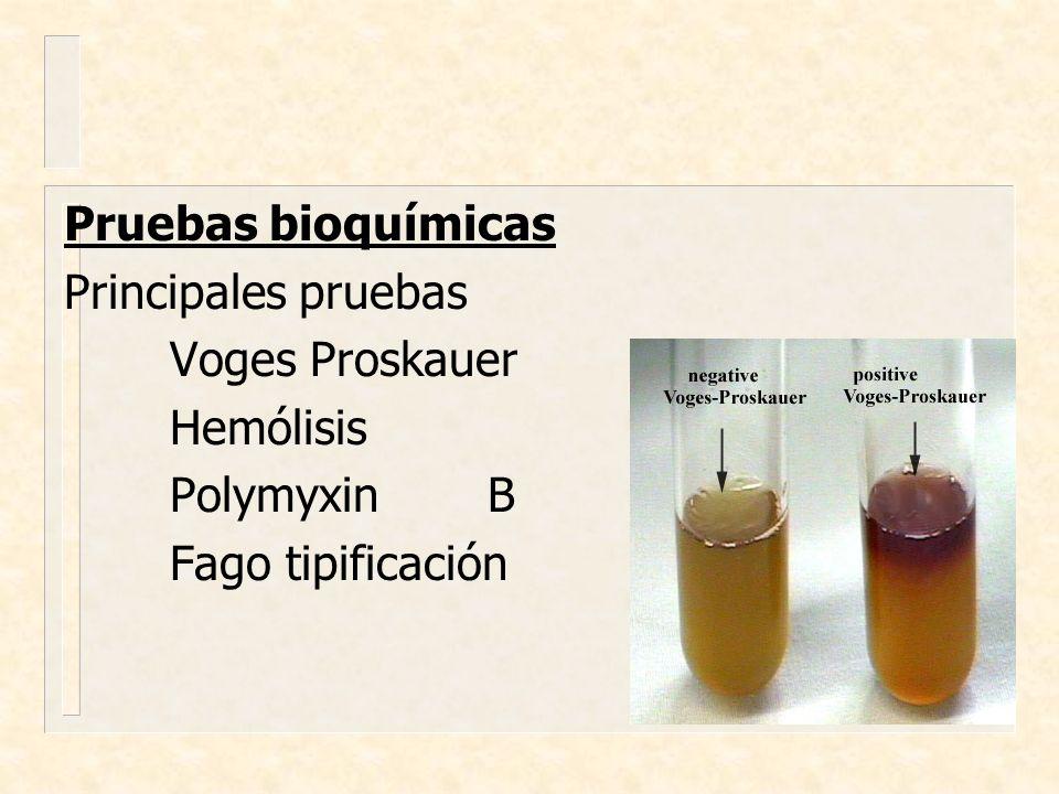 Pruebas bioquímicas Principales pruebas Voges Proskauer Hemólisis Polymyxin B Fago tipificación
