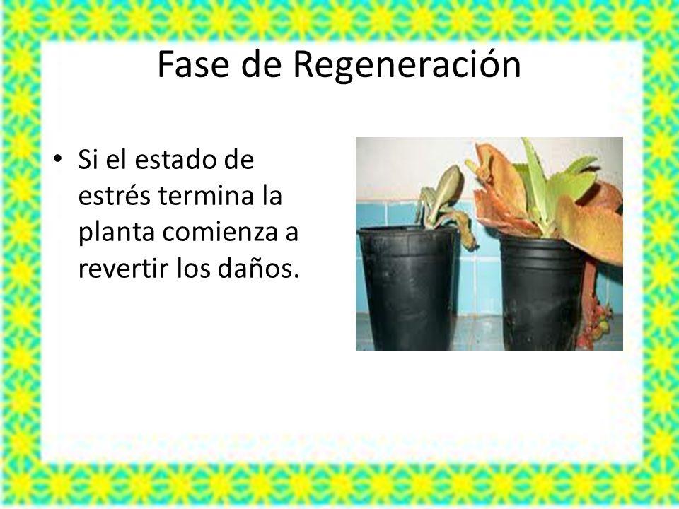 Fase de Regeneración Si el estado de estrés termina la planta comienza a revertir los daños.