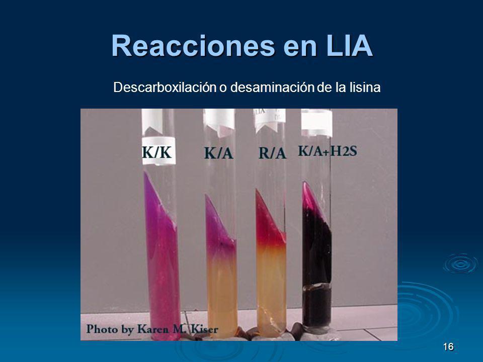 Reacciones en LIA Descarboxilación o desaminación de la lisina 16
